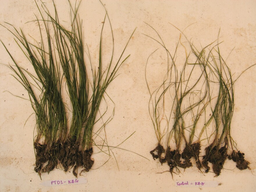 In Doty's lab, grasses grown with endophytes from a poplar tree (left) grew larger than those without the added microbes.
