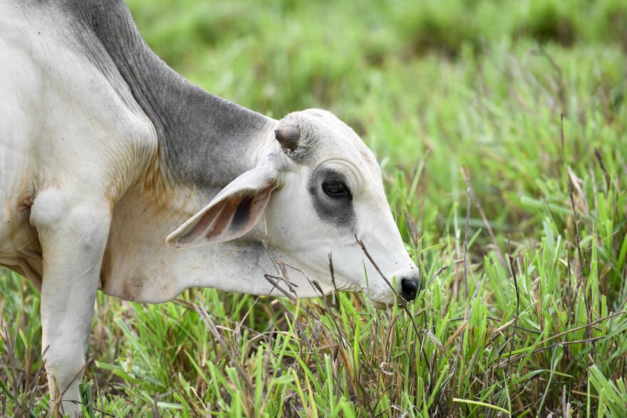 Cattle grow faster, and cause less damage to the environment, when they have better grass to eat.
