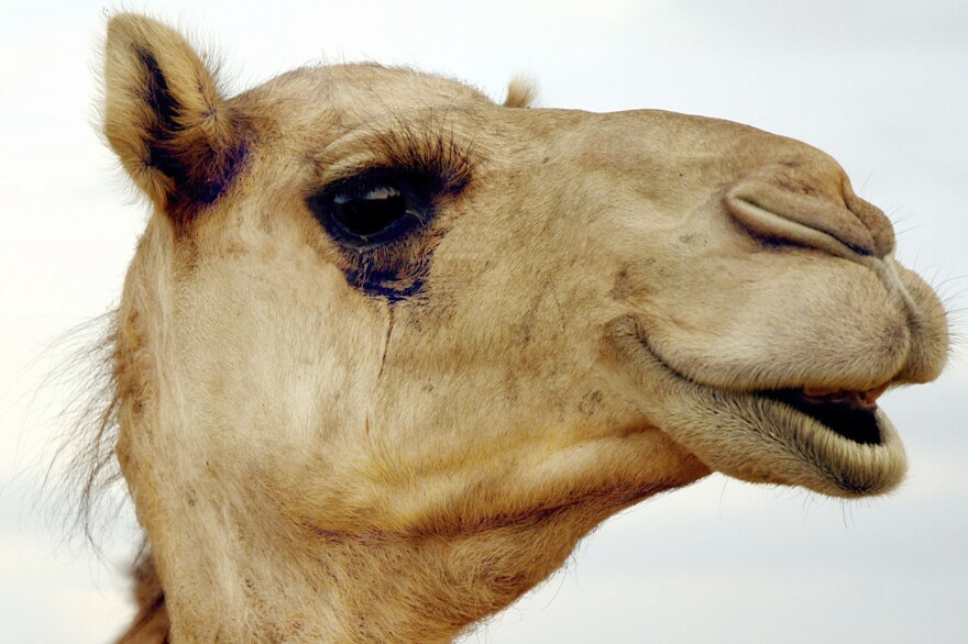 Camel lashes angle downward, presumably to protect from desert sand and sun.