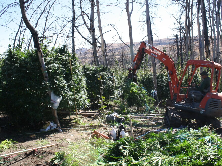 Law enforcement officers uproot a large-scale illegal marijuana grow, one of several masquerading as legal operations in Okanogan County.