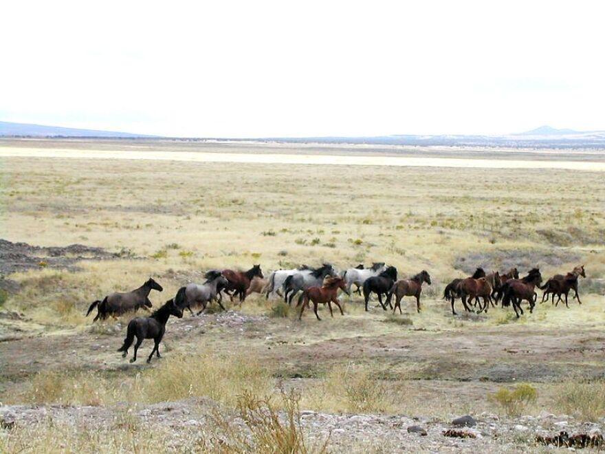 800px-Mustang_Utah_2005_2.jpg