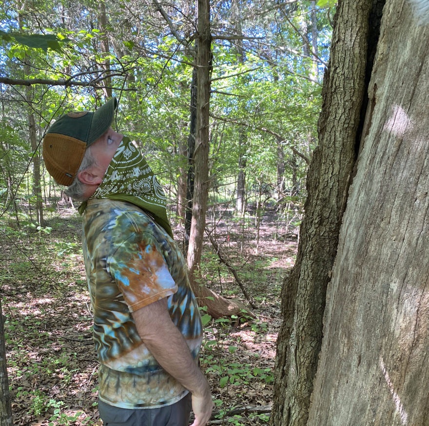 Brett Dupree gazes up at the overcup oak, also known as Treasure Tree #17.