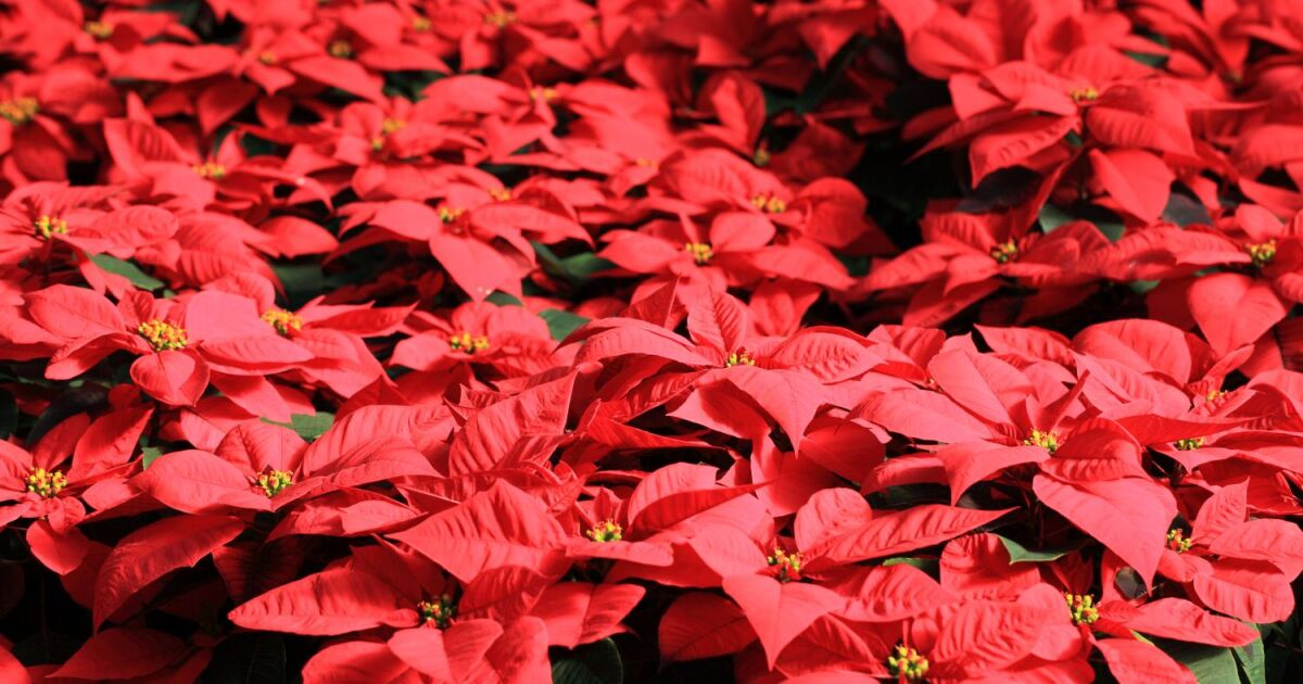 5 Fun Facts You May Not Know About Poinsettias And A Few Myths Busted St Louis Public Radio