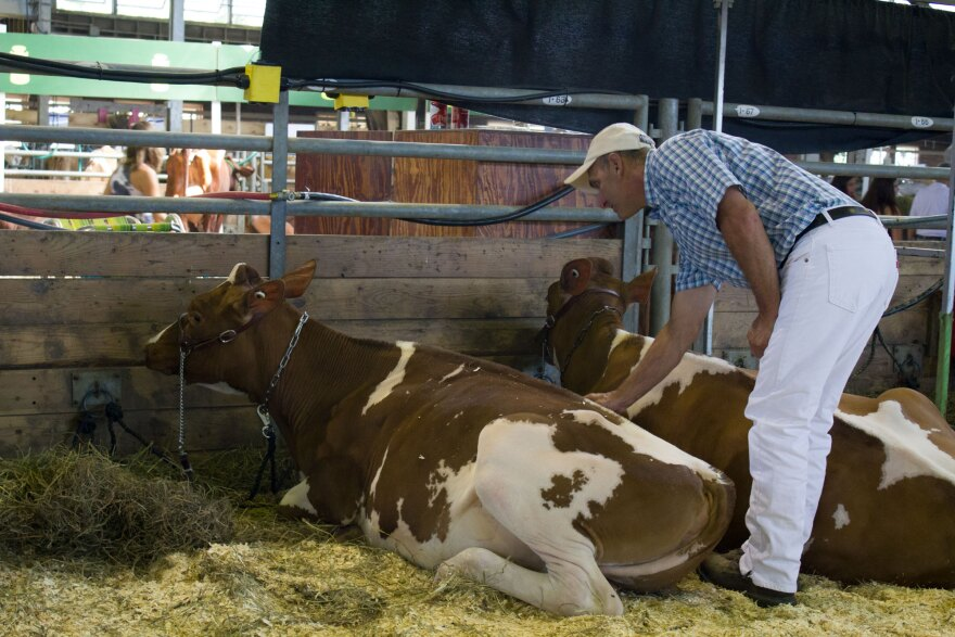 Doug Lyons, a dairy farmer from Castalia, Iowa, encourages one of his cows to her feet so they can enter the show barn at the Iowa State Fair in Des Moines.