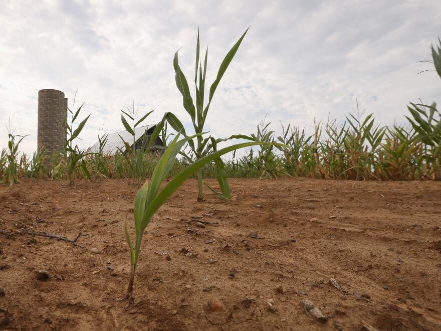 Drought-stricken corn struggles to survive on a farm near Poseyville, Ind.
