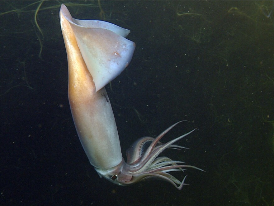A Humboldt squid shows its colors in the lights of a remotely operated vehicle off the coast of California.