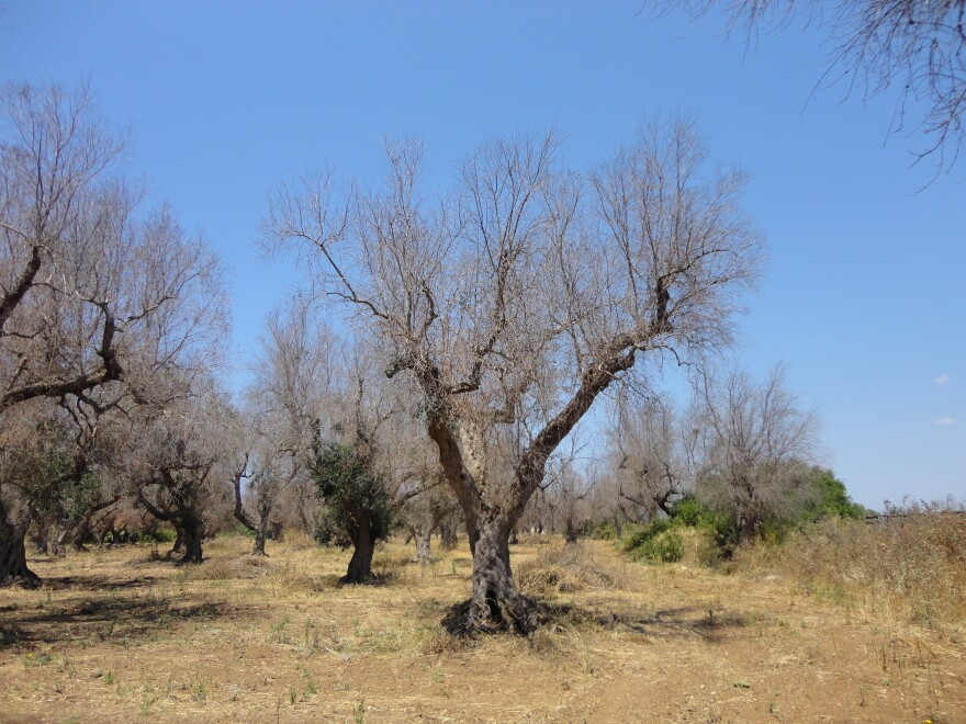 """A deadly bacterium, <em>xylella fastidiosa</em>, has killed millions of olive trees in southern Italy. One of the hardest-hit areas is Lecce province in the Puglia region (pictured here). Xylella, which has no cure, """"is almost like the coronavirus of olive trees,"""" says Maria Saponari, a plant virologist at the Institute for Sustainable Plant Protection in Italy."""