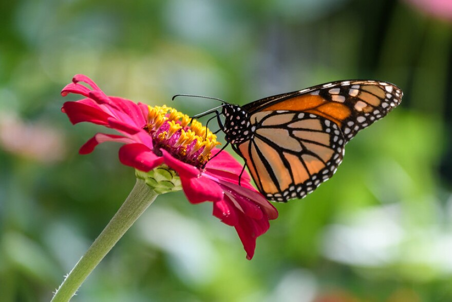 A photo of a monarch butterfly on a pink flower.