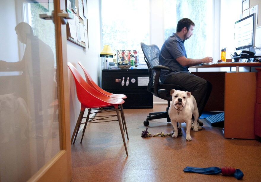 Ginger, an English bulldog, stands watch while at work with her owner, Will Pisnieski, at Authentic Entertainment in Burbank, Calif., in 2012. According to the Society for Human Resource Management, 7 percent of employers allow pets at work.