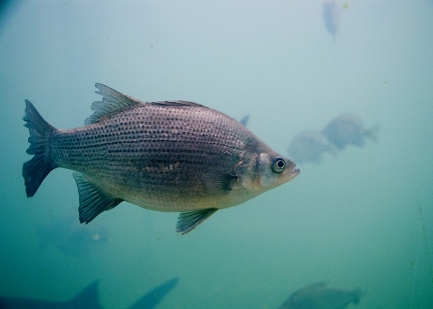 Photo of a white bass in water