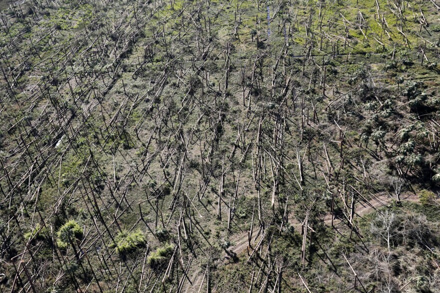 Downed trees are seen from the air in the aftermath of Hurricane Michael near Mexico Beach, Fla., Friday, Oct. 12, 2018.