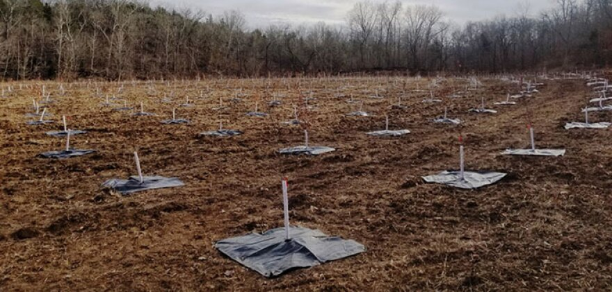 Tree plantings on a former lead mining site in Fredericktown, Missouri, located about 90 miles south of St. Louis.