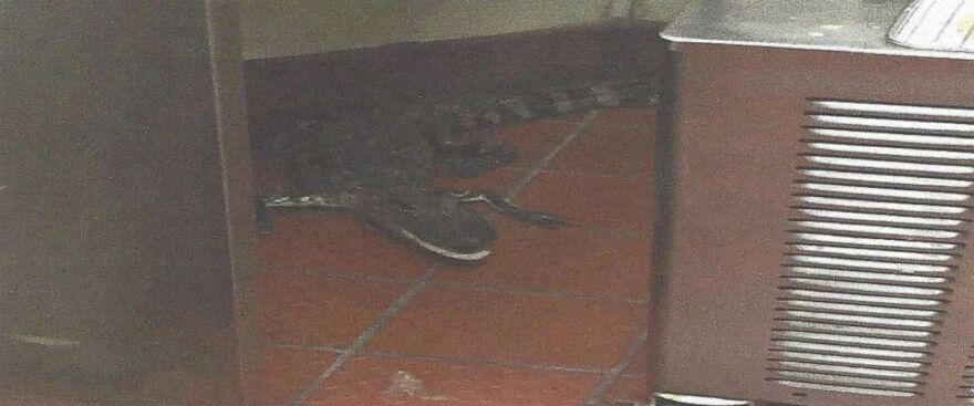 alligatorwendys.jpg