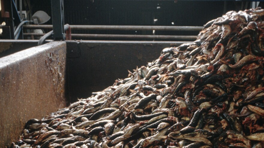 Forage fish like these at a Chilean processing plant are often used for fish meal used in aquaculture. But critics consider this inefficient and wasteful and worry it could deplete fish populations. Now several companies are developing protein substitutes to replace fish meal.