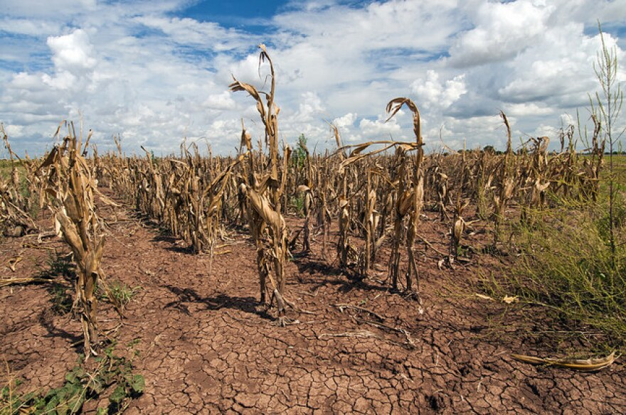 tx_cornfield_drought_2013_.jpg