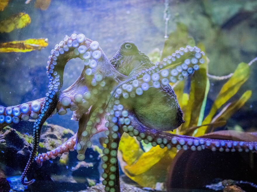 Inky the octopus swimming in a tank at the National Aquarium of New Zealand in Napier, New Zealand, before his escape.