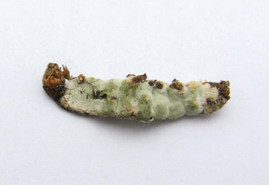<em>Metarhizium anisopliae</em>, a rice shell pest.