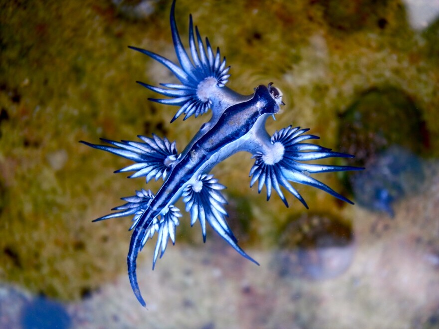 a blue dragon sea slug