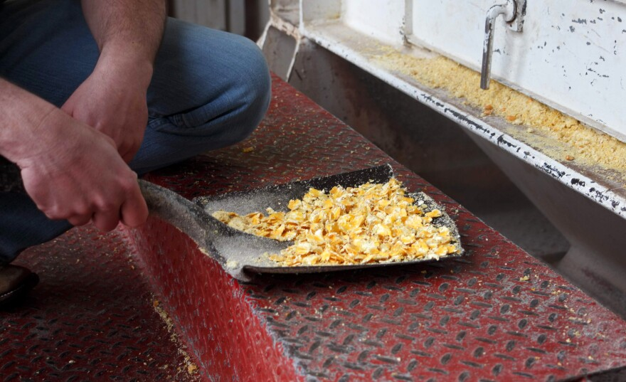 Steamed, flattened corn is fed to cattle to make them gain weight quickly. This diet can also lead to liver abscesses.