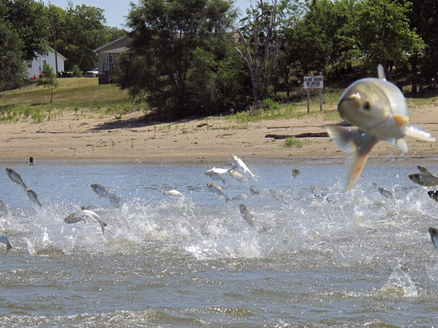 Asian carp, jolted by an electric current from a research boat, jump from the Illinois River near Havana, Ill., in June.