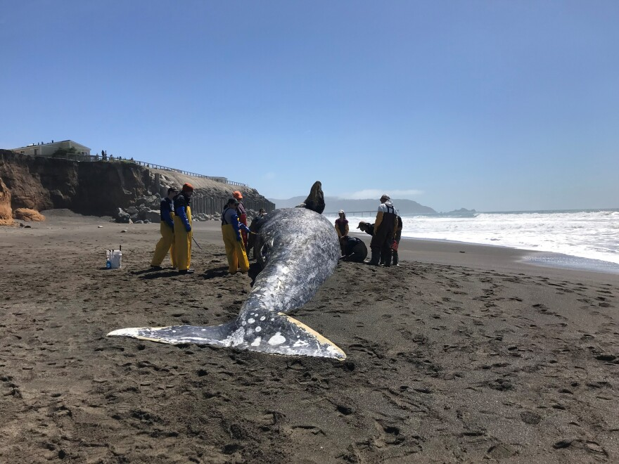 a._gray_whale_pacifica_4-17-19_photo_by_laura_sherr____the_marine_mammal_center.jpg