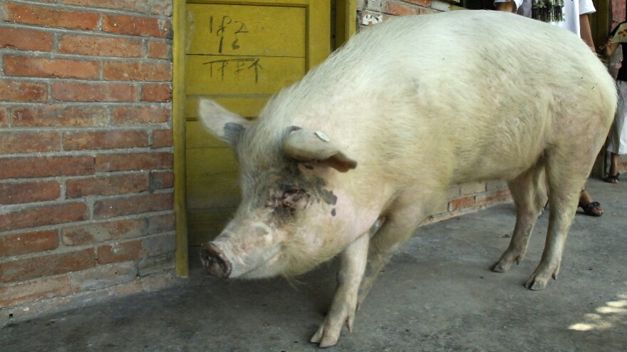 """Strong-willed pig,"" in 2008."
