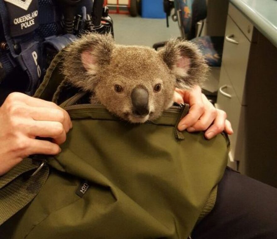 The koala was found during a traffic stop in Queensland, Australia.
