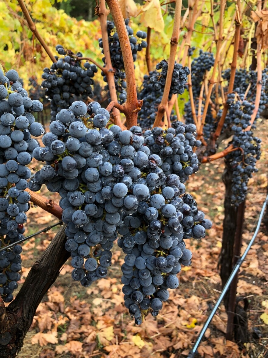 These grapes, tainted by smoke from the wildfires that burned through California's wine country last year, were picked quickly and turned into Rescue RayZins instead of being thrown away.
