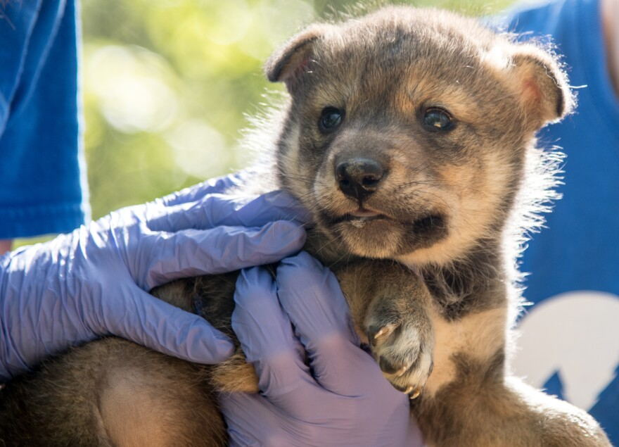A three-week-old Mexican gray wolf pup is examined by scientists at the Endangered Wolf Center in Eureka. The pup was born from artificial insemination that used thawed semen.