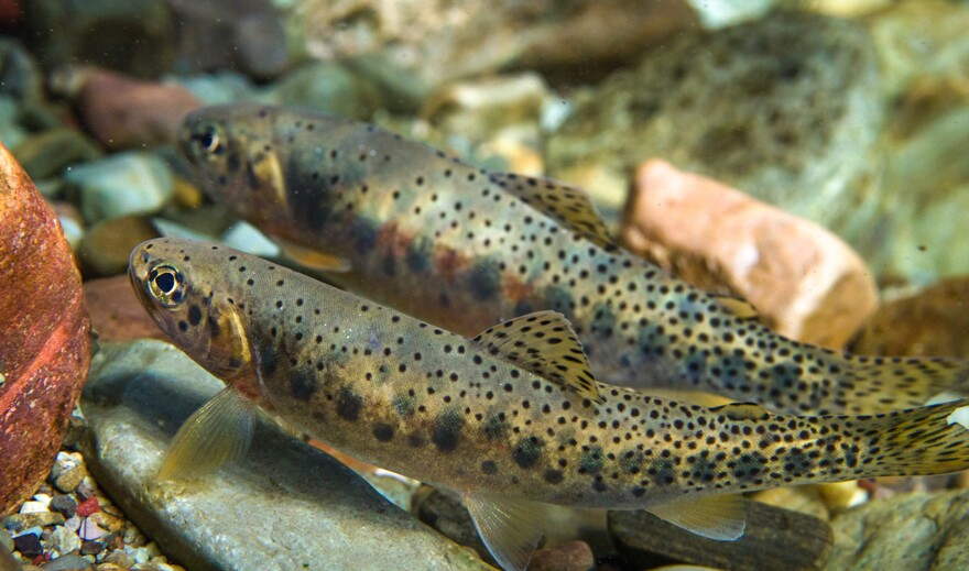 Native westslope cutthroat trout swim in the north fork of the Flathead River in northwestern Montana. However, cutthroat trout populations are threatened by hybridization from mating with rainbow trout.