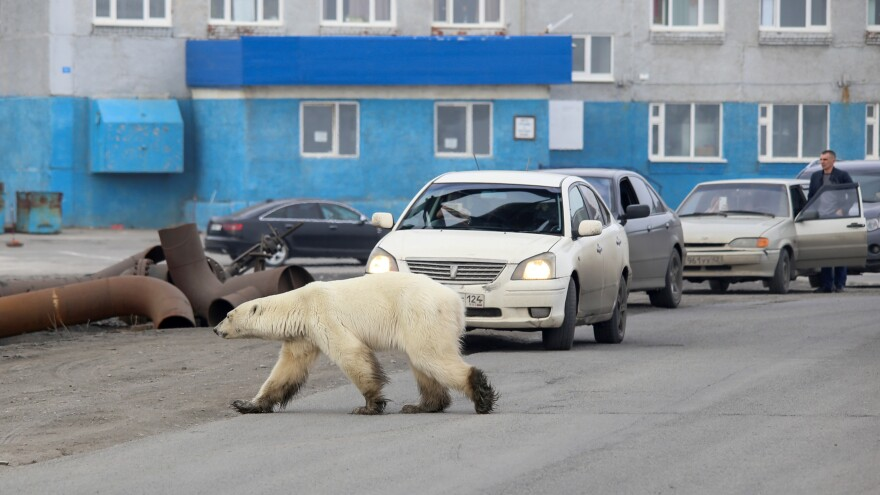 A stray polar bear is seen in the industrial city of Norilsk, Russia, on Monday.