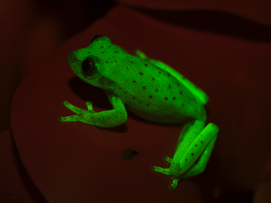 The South American polka dot tree frog was recently found to glow fluorescent under ultraviolet light.