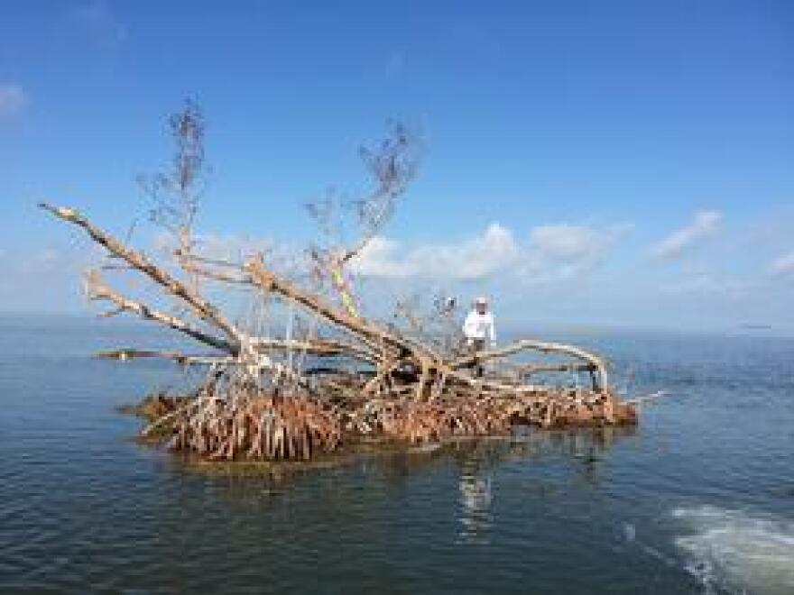 Audubon Florida science director Jerry Lorenz rides a new floating island fragment that showed up in Florida Bay after Hurricane Irma, possibly broken off from an island in the Lower Keys backcountry.