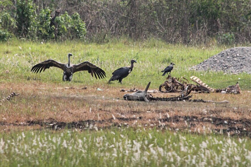"""Vulture """"restaurants"""" in Nepal provide safe food for the endangered species of vultures there."""