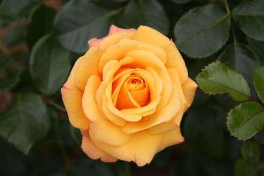 rose-via-wikimedia-commons.jpg