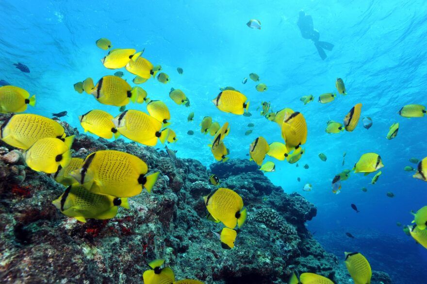 Milletseed butterflyfishes and a snorkeler in the Papahānaumokuākea Marine National Monument in Hawaii. (Greg McFall/NOAA's National Ocean Service via Flickr)