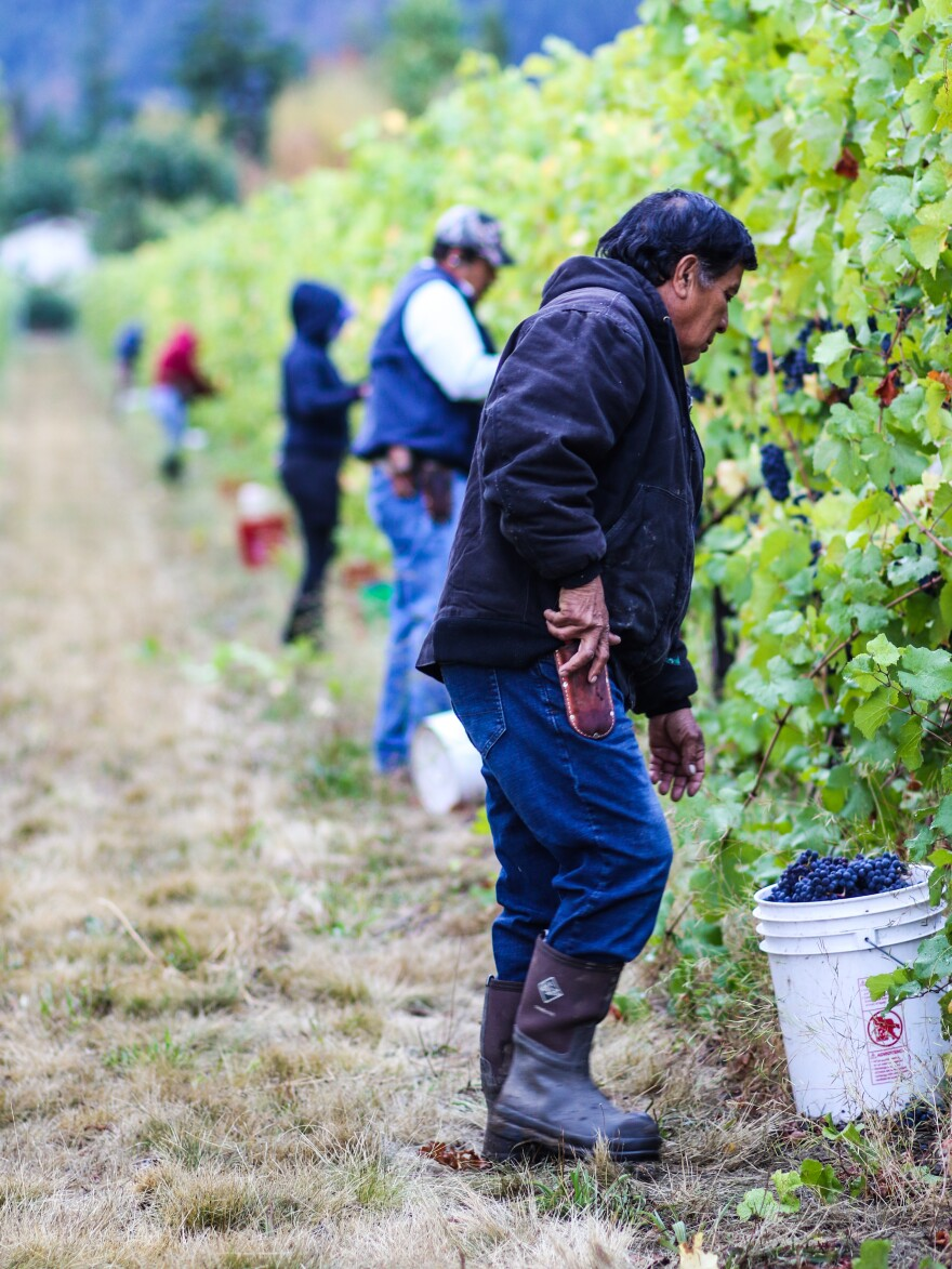 Vineyard workers help harvest grapes for the Oregon Solidarity wines at the Bayliss Vineyard in Talent, Ore.
