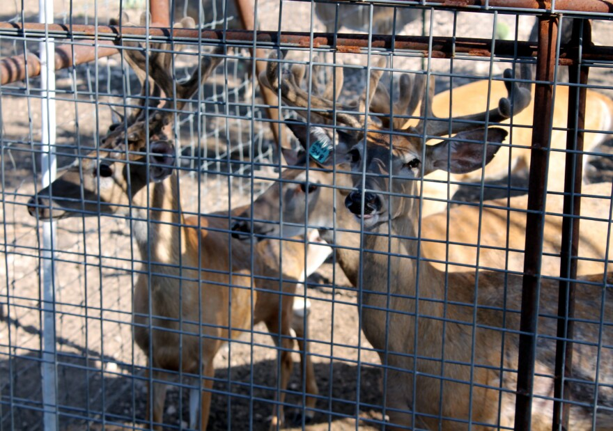 Top 10 Whitetail Ranch in Junction in 2015.