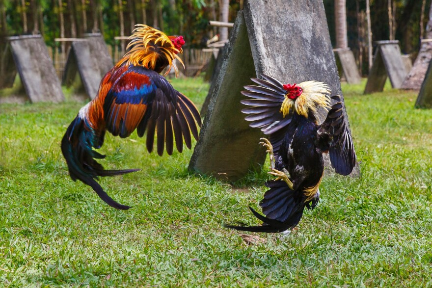 cock_fighting.jpg