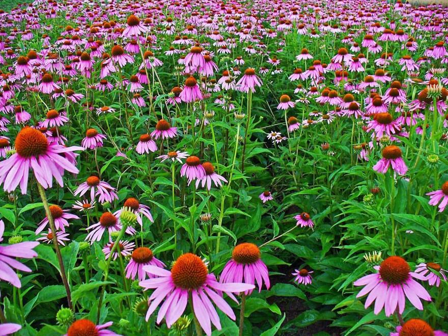 Echinacea_purpurea_001.JPG