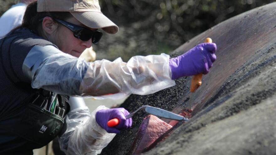 Dr. Kathy Burek, a veterinary pathologist, slices through the blubber layer on a gray whale that was beached outside Anchorage, Alaska, earlier this month. Scientists are trying to figure out why so many gray whales are dying.