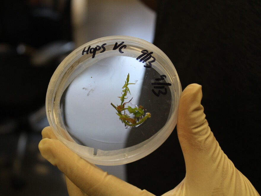 Hops internodes growing in a Petri dish in the SUNY Cobleskill biotech lab.