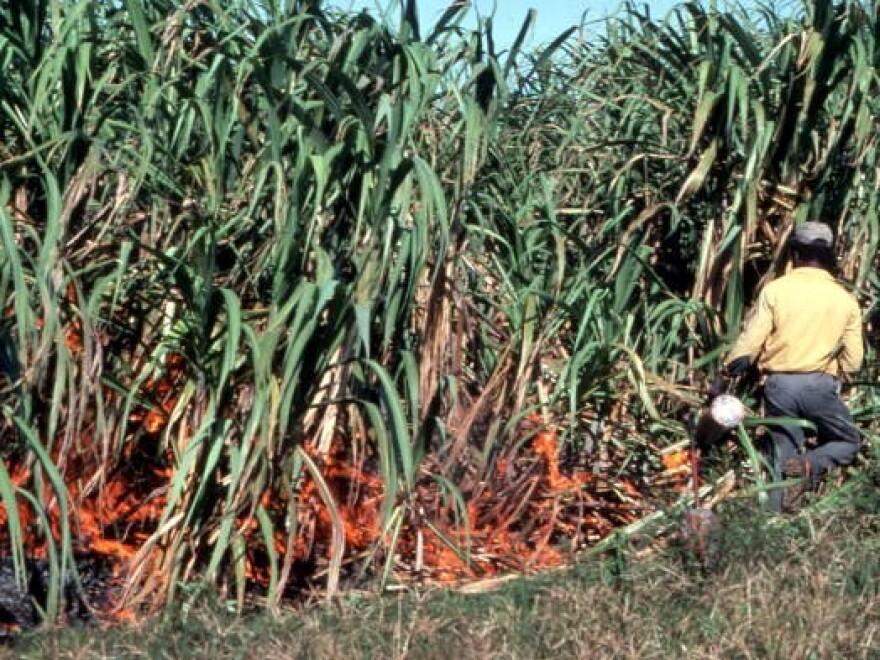 Man setting sugar cane field on fire on purpose.