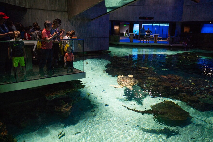 Visitors watch creatures swim inside the aquarium including Calypso, a three-legged green sea turtle.