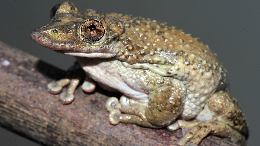 The frog Corythomantis greeningi