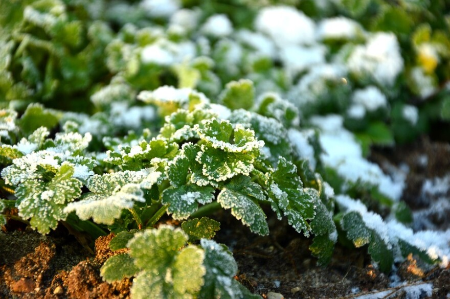 Parsley in Frost in Garden.jpg