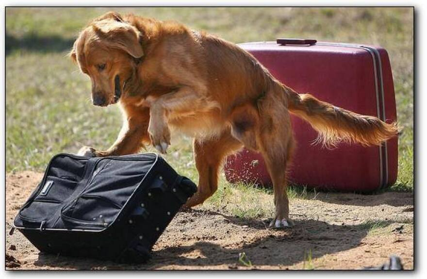 dog with suitcases