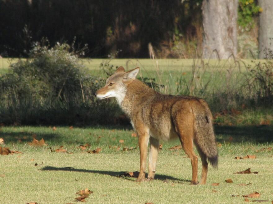 Coyote_Peter_VanLinn_FPF_web2.jpg