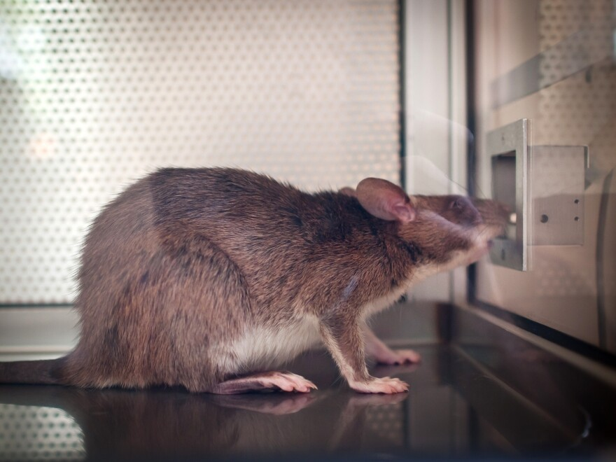 A rat learns to smell tuberculosis in patient samples.
