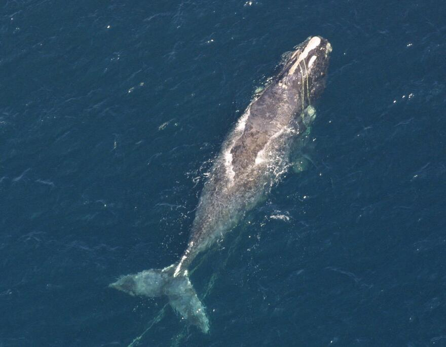 right_whale.jpg